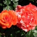 Owen Garden Rose 1