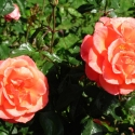 Owen Garden Rose 3