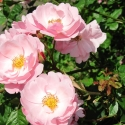 Owen Garden Rose 4